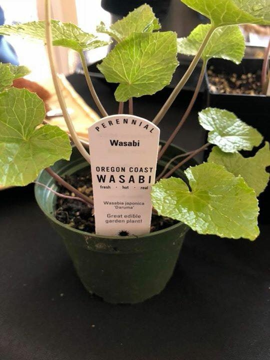 Wasabi 101 – Portland Culinary Podcast Episode 35 by Steven Shomler